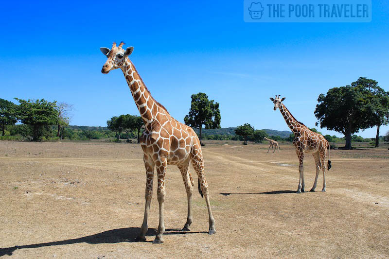 Tall order! Calauit Safari Park