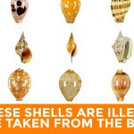 Sea Shells that are Illegal to be Taken from the Beach