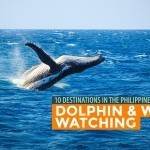 10 GREAT DOLPHIN AND WHALE WATCHING DESTINATIONS in the Philippines