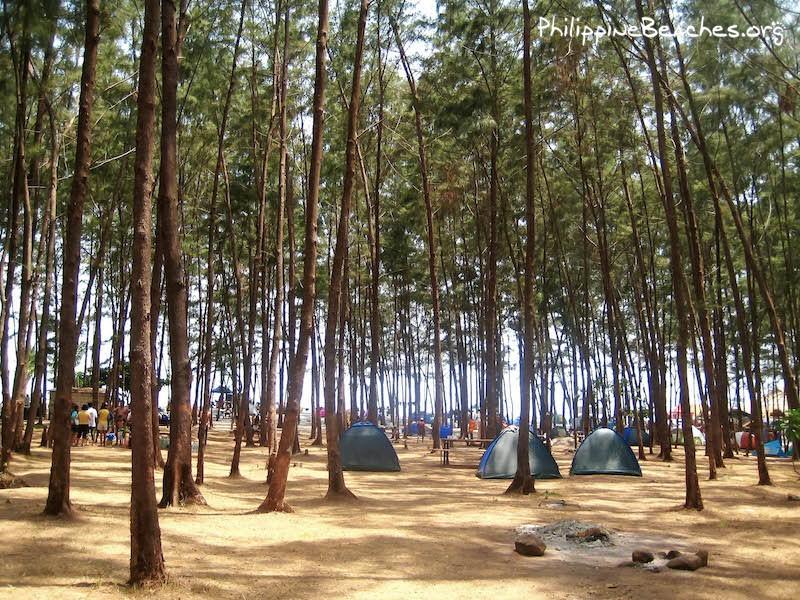 The Agoho trees of Anawangin Cove
