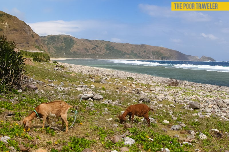 Goats grazing at the beach