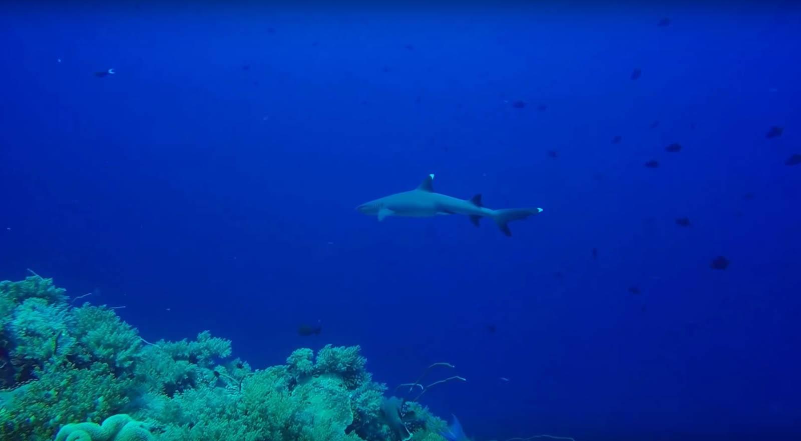 Shark Tubbataha Reef