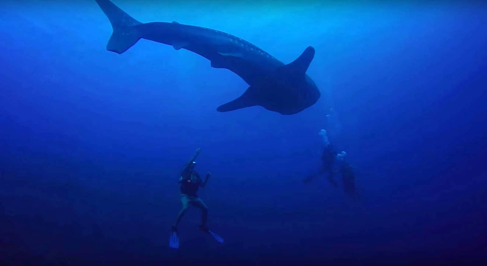 Whale Shark Divers