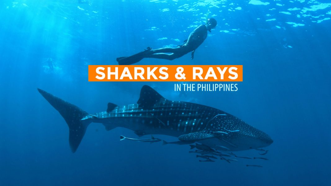 Infographic: Protected Sharks and Rays of the Philippines